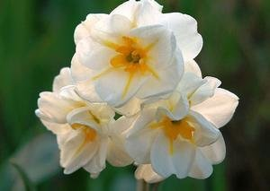 NARCISSUS SIR WINSTON CHURCHILL DOUBLE