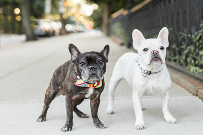 Two French Bulldogs on a sidewalk in Boston