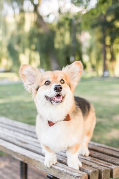 Corgi in Boston Public Garden