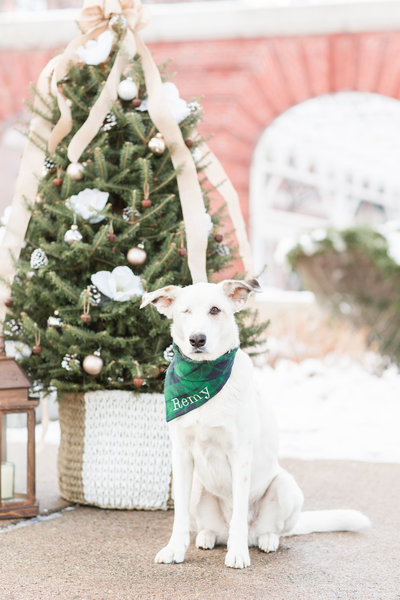 Husky/Shepherd Mix Dog wearing a green plaid Christmas scarf