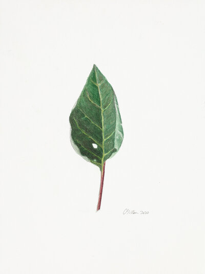 Clair gallery drawings _Datura Leaf_l