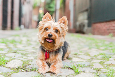 Yorkie laying in Beacon Hill