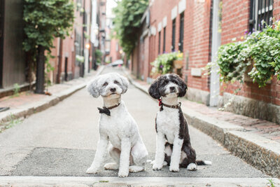 Two Bordoodles wearing bow ties in Beacon Hill alley