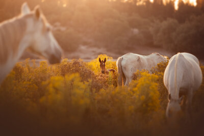 Foal sunset