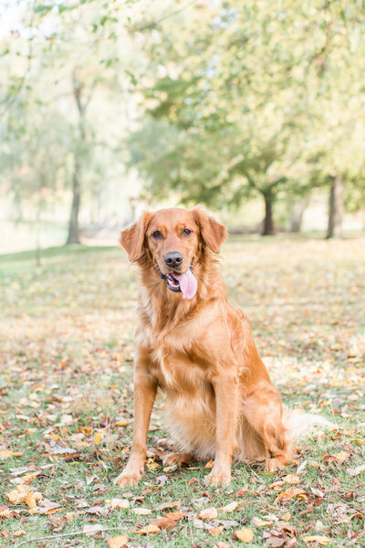 Golden Retriever dog at Larz Anderson Park