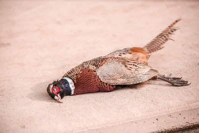 Fowl Plains Kansas Pheasant Hunts