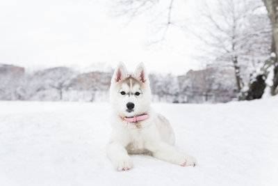 Boston-Husky-Puppy-1