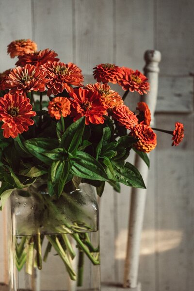 fresh zinnia flowers in vase on antique chair