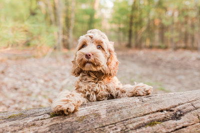 Cockapoo standing on tree stump