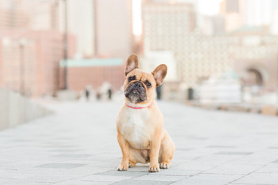 French Bulldog in Boston Seaport