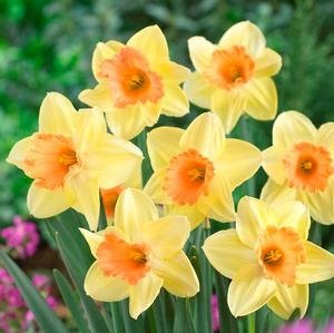NARCISSUS TINKLED PINKEEN LARGE CUPPED