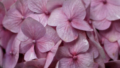 Fine Art Flower Photography extreme closeup of small pink flowers