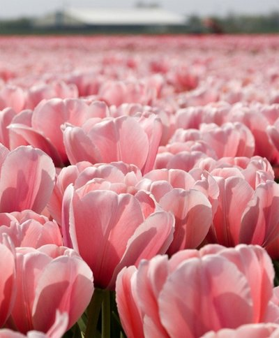 TULIP PINK IMPRESSION 20_ GIANT DARWIN MID