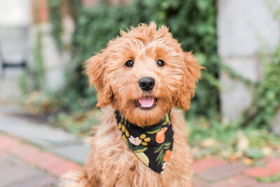 Mini Goldendoodle puppy in Beacon Hill