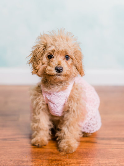 Kodak the cavapoo by Corey Johnson Studios