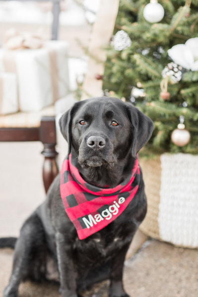 Black Labrador wearing a red and black plaid scarf