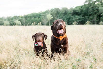 Chocolate Labs wearing bow ties in field