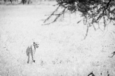 CheetahStroll_BW