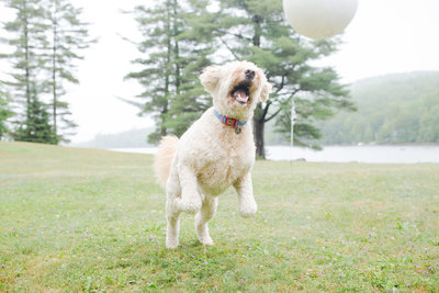 Goldendoodle jumping in the air