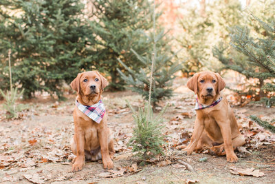 Two Fox Red Lab Puppies wearing plaid scarves