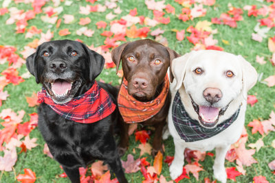Three dogs wearing plaid scarves
