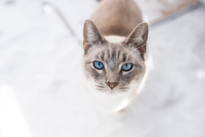 White siamese mix poses in the snow