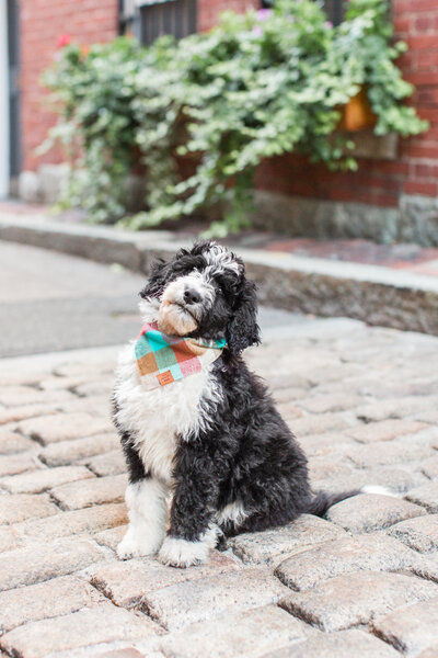 bernedoodle puppy in Beacon Hill
