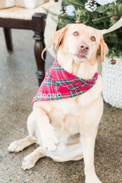 Yellow Lab wearing a red plaid Christmas scarf