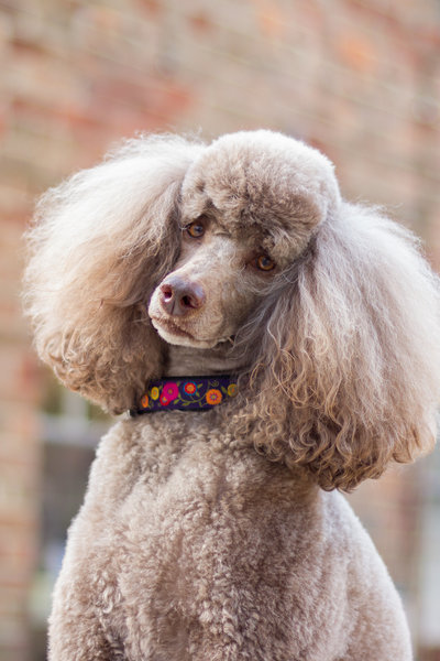 Poodle Photograph in Richmond Virginia