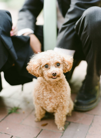 Pocket the toy poodle with Lyndi and Jason smiling at camera in Chatham Square