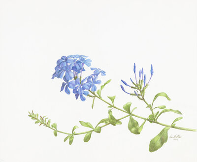 Clair gallery drawings _Plumbago_