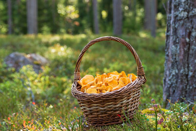 basket of chanterelles