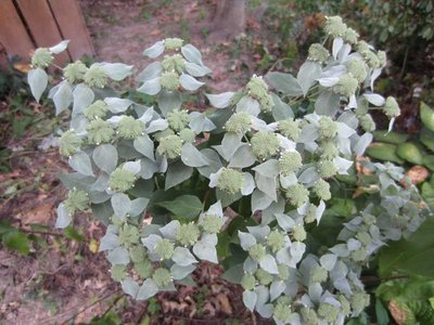 MOUNTAIN MINT CLUSTERED