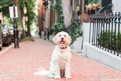 Mini Gldendoodle sitting in Beacon Hill streets
