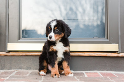 Bernese-Mountain-Dog-Puppy-Pictures-in-Boston-4