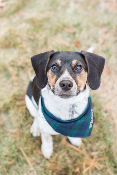 Beagle Mix wearing a green and blue plaid scarf