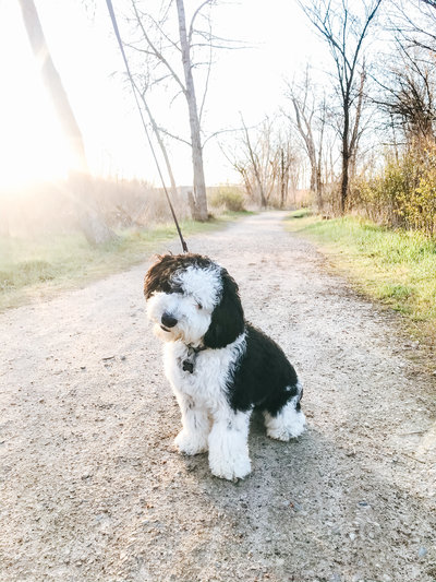 Murphy the Mini Sheepadoodle