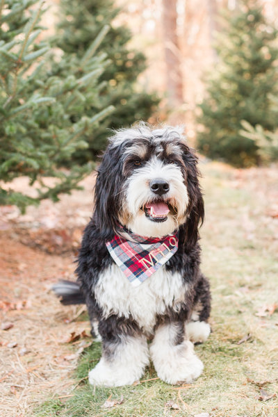 Bernedoodle wearing a plaid scarf