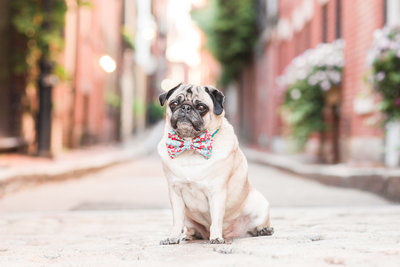 Pug wearing bow tie in Beacon Hill