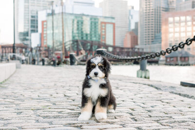 black bernedoodle sitting in Boston Seaport