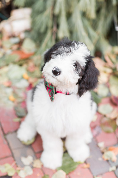 Sheepadoodle puppy wearing a bow tie in Beacon hill