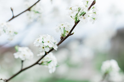 Close up image of spring pear blossoms