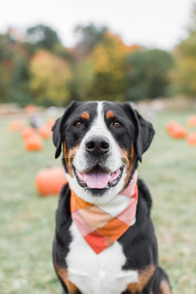 Greater Swiss Mountain Dog wearing a Fall scarf