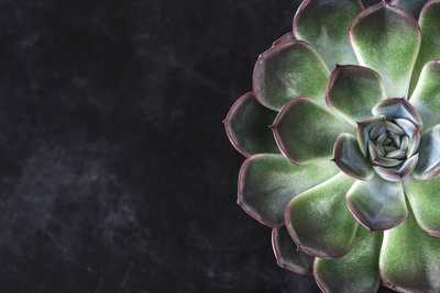 Succulent black background