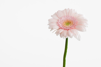 Pink flower against white background