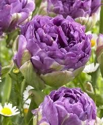 TULIP BLUE WOW 20_ DOUBLE PEONY LATE