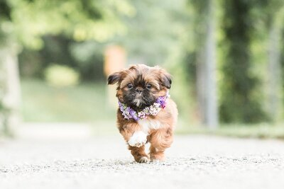 shihzu puppy running wearing flower collar
