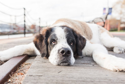 Saint Bernard Dog laying down in Charlestown Navy Yard