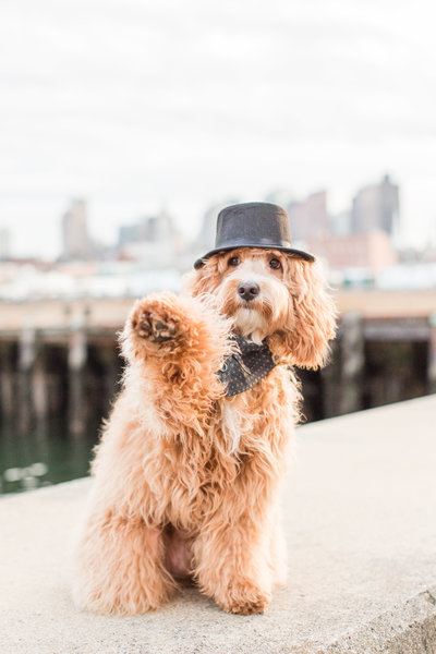 Mini Goldendoodle wearing a black hat