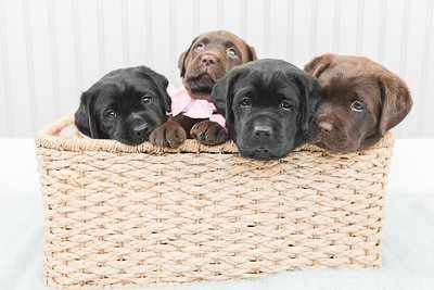 Lauren-Dobish-Photography-Lab-Puppies-Pictures_0053